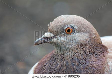 Lazy Pigeon 3
