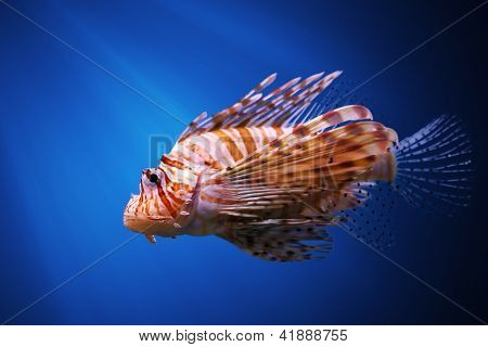 Devil firefish or Common lionfish ( Pterois miles )