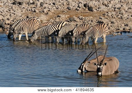 Zebras And Oryx Drinking Water, Okaukeujo Waterhole