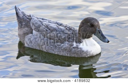 Blue Duck Wading