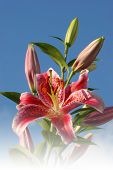 stock photo of stargazer-lilies  - stargazer lilies and blue sky with faded bottom - JPG