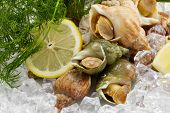 stock photo of whelk  - whelks with dill and lemon on ice - JPG
