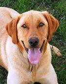 foto of nervous breakdown  - My Labrador retriever had a nervous breakdown - JPG
