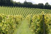 image of dork  - Rows of vines in english vineyard at Dorking - JPG