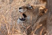 pic of animals sex reproduction  - Male and female lion mating in long grass angry - JPG