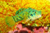 stock photo of clown fish  - The Mandarinfish or Mandarin dragonet  - JPG