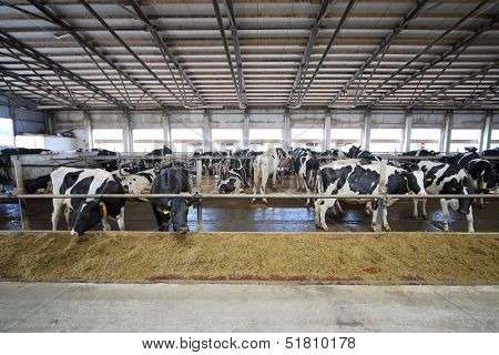 The cows in the stable in dairy farm eating straw through fences
