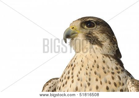 closeup of a Peregrine Falcon crossbred with a Prairie Falcon and Gyrfalcon isolated on white