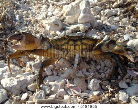The Black Sea Crab Ashore