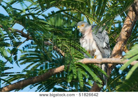 Shikra With Feathers Fluffed