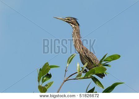 Young Striated Heron
