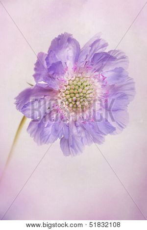 Scabiosa flower with texture and softness applied.