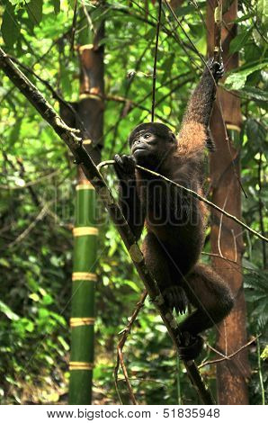 Wooly Monkey In The Amazonia