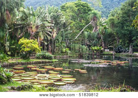Victoria Regia - The Largest Water Lily In The World, Rio De Janeiro, Brazil