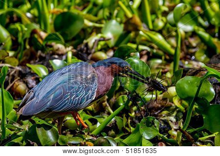 A Green Heron Catching a Crayfish (Crawfish) for Lunch in the Swamp