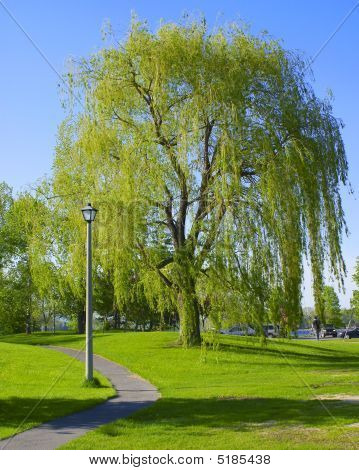 Large Weeping Willow Tree In Park