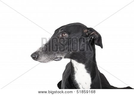 Portrait Of A Greyhound