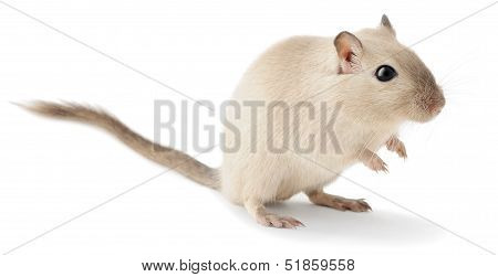 Cute Little Gerbil