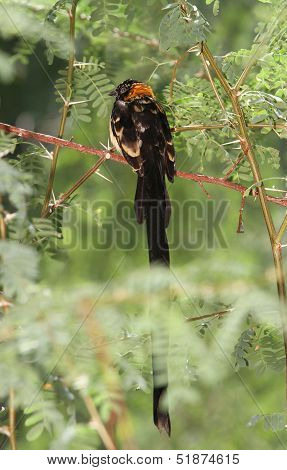 long tailed black bird