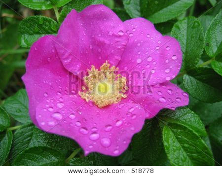 Dew On A Dogrose