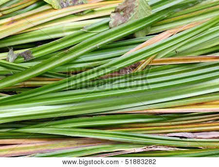 The river sedge grass