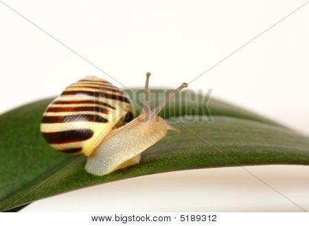 Grove Snail On Green Leaf