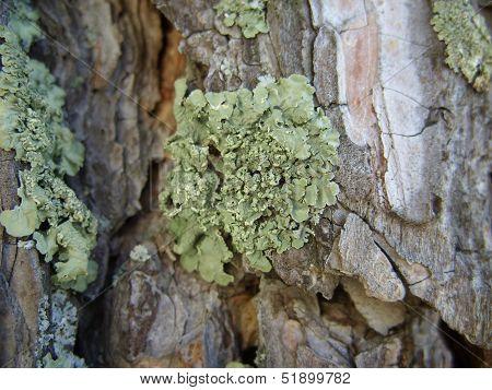 Green lichen on tree bark