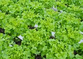 picture of hydroponics  - Salad Vegetables Farm With The Hydroponics System - JPG
