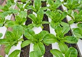 stock photo of hydroponics  - Salad Vegetables Farm With The Hydroponics System - JPG