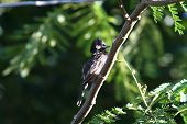 Red Vented Bulbul Looking Right poster