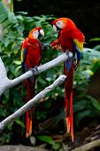 Two Scarlet Macaws (Ara macao) in a Discussion About Keeping Their Distance