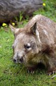 stock photo of wombat  - this is a close up of a hairy nosed wombat - JPG