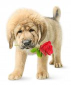 stock photo of dog-rose  - Puppy with red rose isolated on white - JPG