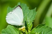 stock photo of albatross  - A male Woodland Albatross White butterfly drinking nectar from a small yellow flower - JPG