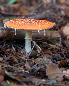 Amanita Muscaria, Commonly Known As The Fly Agaric Or Fly Amanita poster