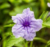 picture of tuberose  - Purple Ruellia Tuberosa Flower on flowers at backgroud   - JPG