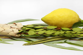 stock photo of sukkoth  - Etrog (citron fruit) hadass (myrtle branches) Lulav (Date palm tree branch) and Aravah (Willow) Used in a ceremony of the Jewish holiday of Sukkoth. Isolated on white. ** Note: Shallow depth of field - JPG