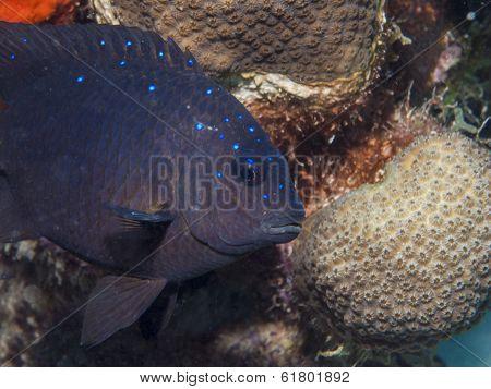 Stegastes Fuscus, The Dusky Damselfish