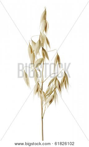 The common oat (Avena sativa) is a species of cereal grain grown for its seed.