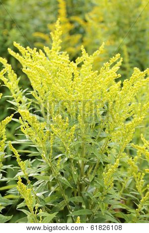 Canada goldenrod (Solidago canadensis) plant outdoors.