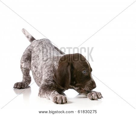 playful puppy - german shorthaired pointer puppy playing isolated on white background