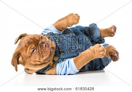 male puppy - dogue de bordeaux wearing cute overalls isolated on white background