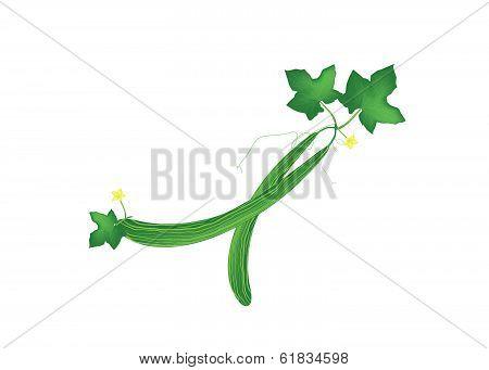 Fresh Snake Cucumber Plant On White Background