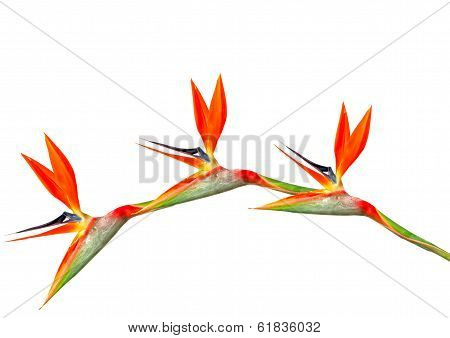 Bird Of Paradise Flowers Arching