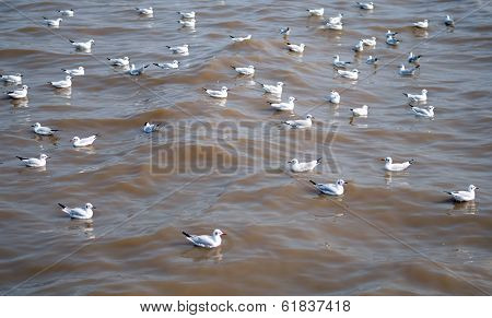 Seagull Is A Bird Migration To Bangpoo, Thailand