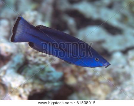Fourline Wrasse