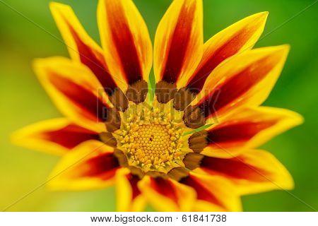 Yellow Gazania Flower Close Up