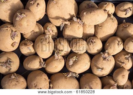 Sprouting Potatoes