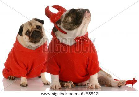 Bulldog Devil Ignoring Pug