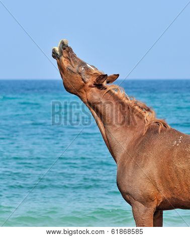 Stallion sniffs the air on the beach with his head up